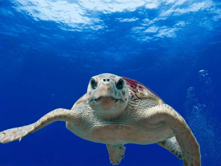 the loggerhead turtle at the south carolina aquarium
