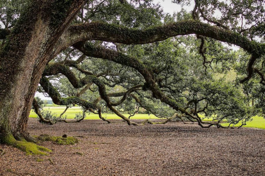 charleston plantations feature lots of live oaks