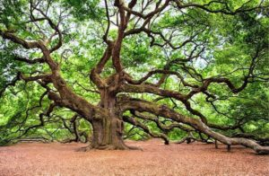 the angel oak is one of the most famous attractions here, a quick visit is one of the best things to do in charleston sc