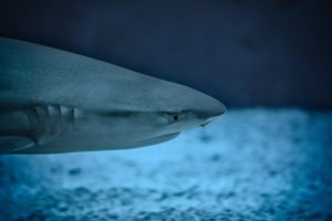a shark at the south carolina aquarium