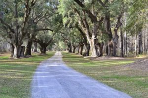 live oaks lining a road in the summer, the best time to visit charleston sc