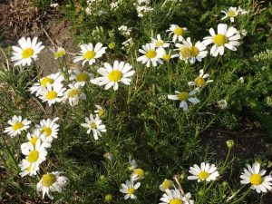 chamomile growing at a community garden in charleston sc