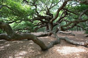 charleston travel tips include visiting the hidden gem that is the angel oak on johns island of charleston sc